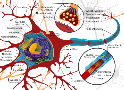 Complete neuron cell diagram.